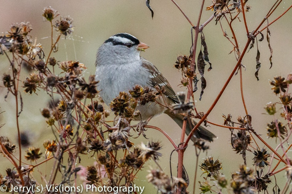 Adult white-crowned sparrow