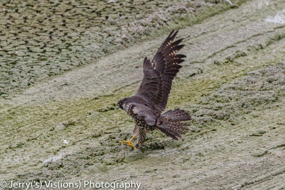 Peregrine falcon pouncing