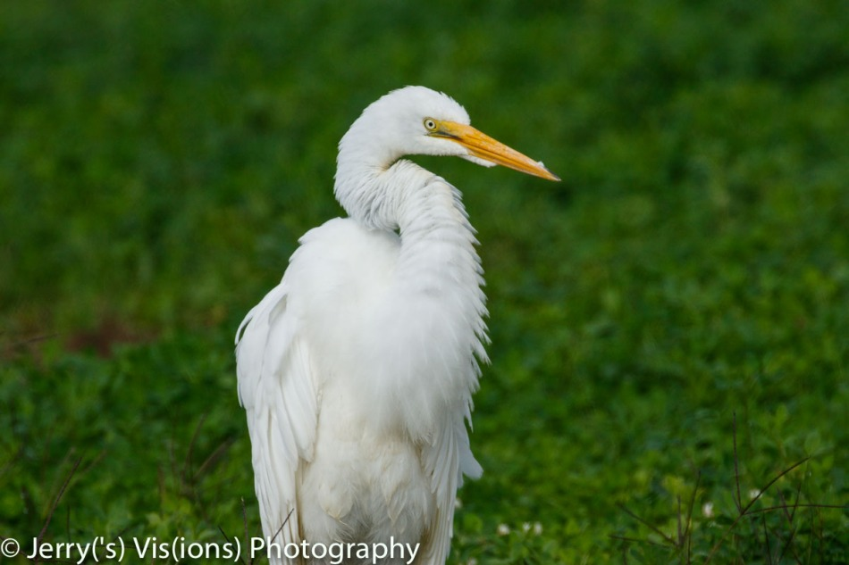 Great egret, 800 mm