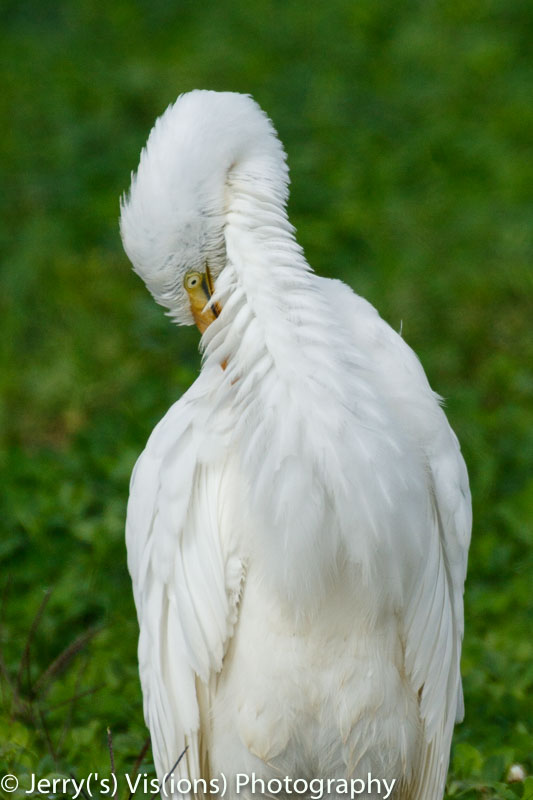 Great egret, 800 mm, cropped slightly