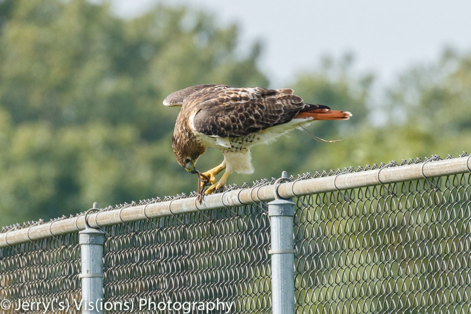 Red-tailed hawk eating a garter snake
