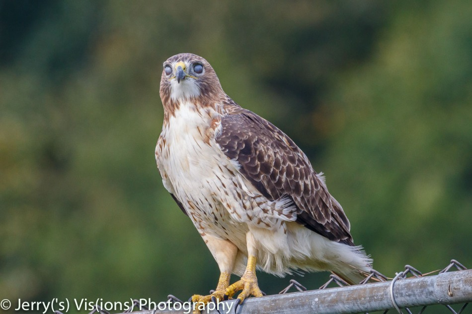 Red-tailed hawk zombie