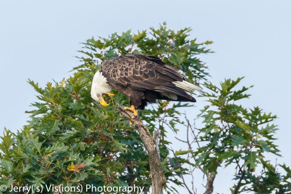 Bald eagle hacking up a pellet