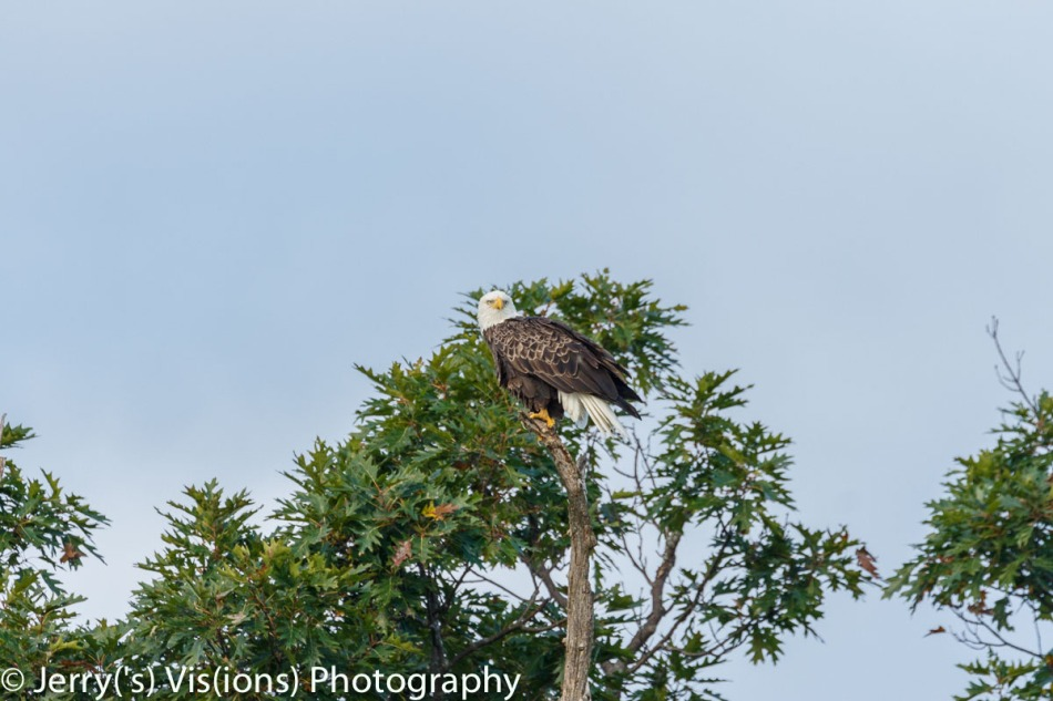 Bald eagle at 400 mm