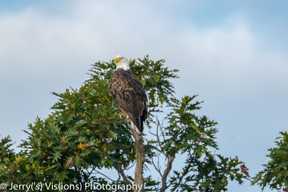 Bald eagle at 560 mm