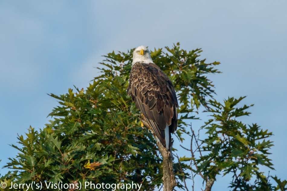 Bald eagle at 800 mm