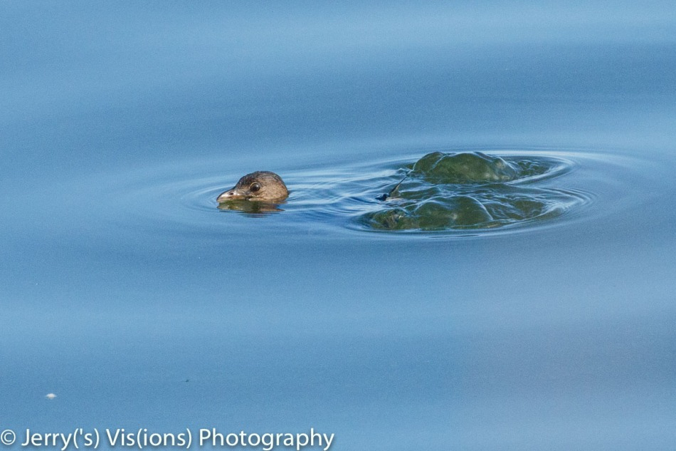 Pie-billed grebe sinking out of sight