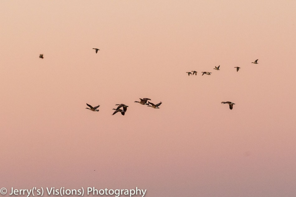 Canada geese and mallards in flight at sunrise