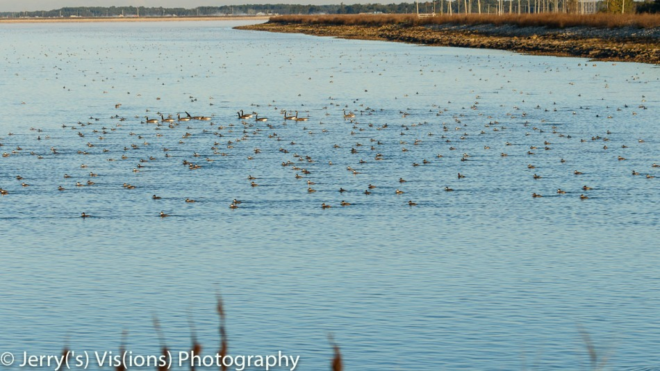 Assorted waterfowl on the move
