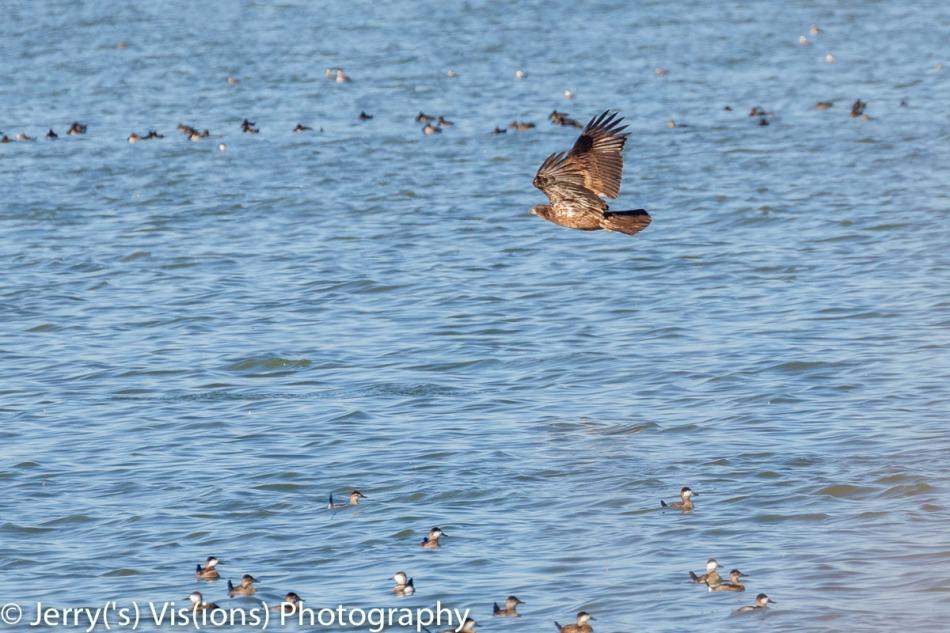 Juvenile bald eagle duck hunting