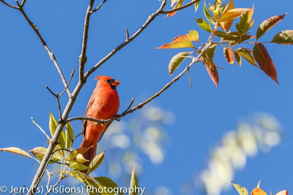 Northern cardinal admiring the beauty of the changing leaves