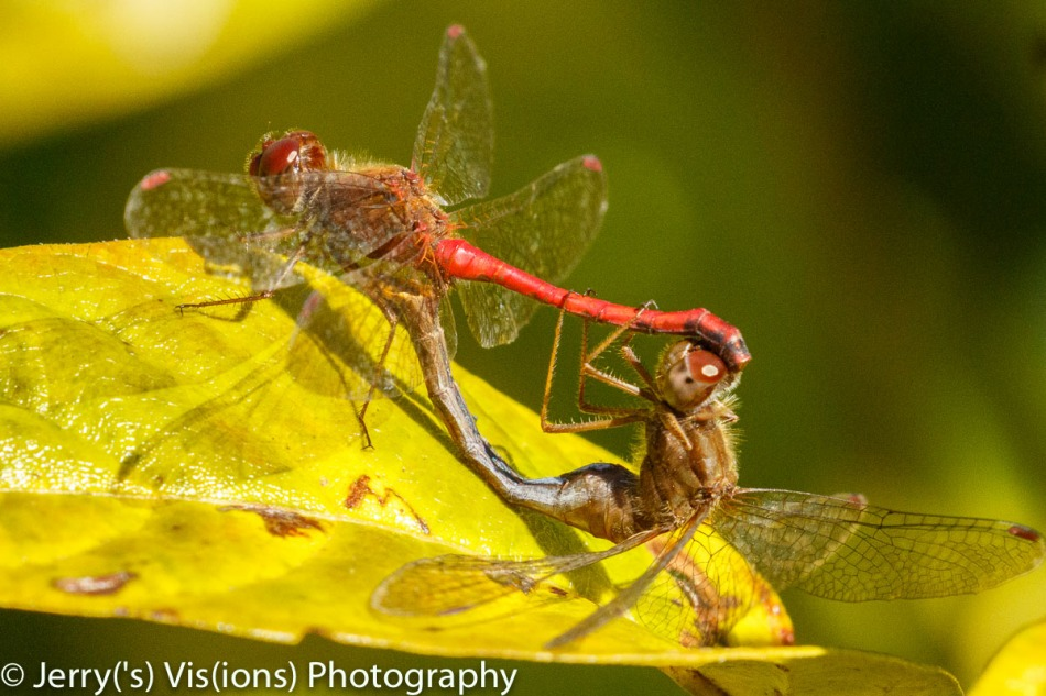 Unidentified dragonflies mating