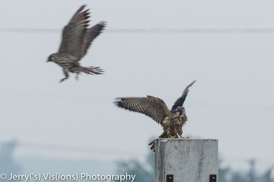 Peregrine falcon attacking another