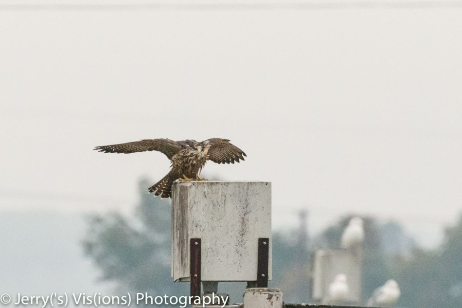 Peregrine falcon ready to fend off an attack from another falcon