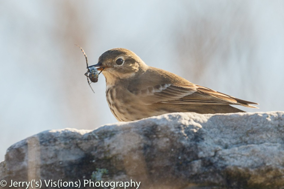 American pipit eating a spider