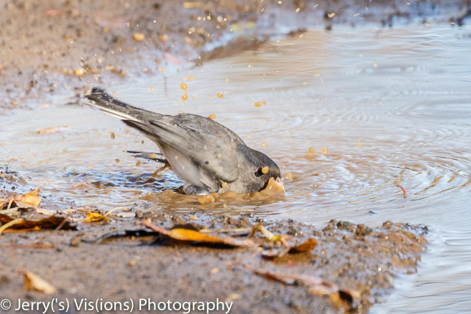Dark-eyed junco bathing