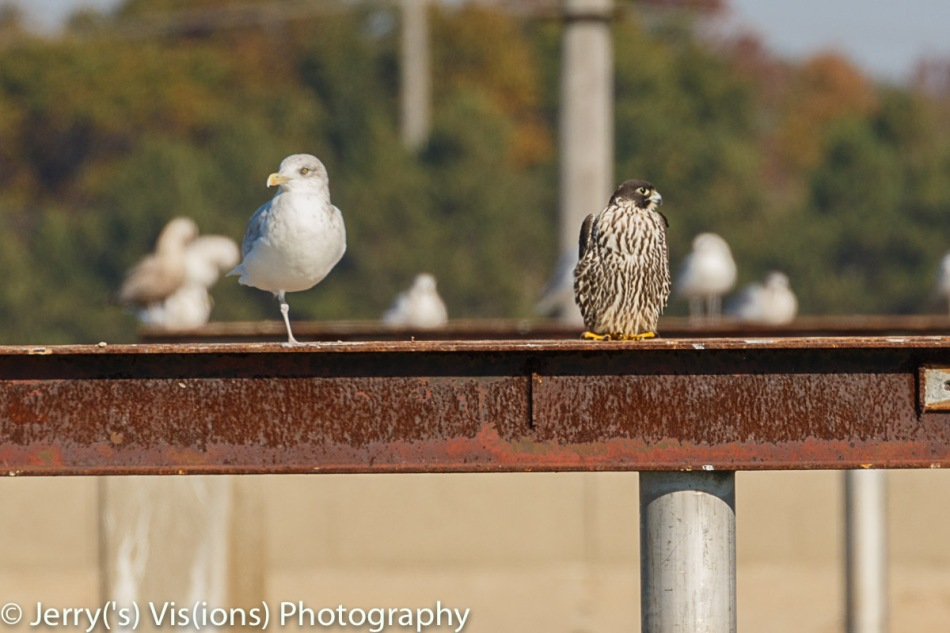Herring gull and peregrine falcon