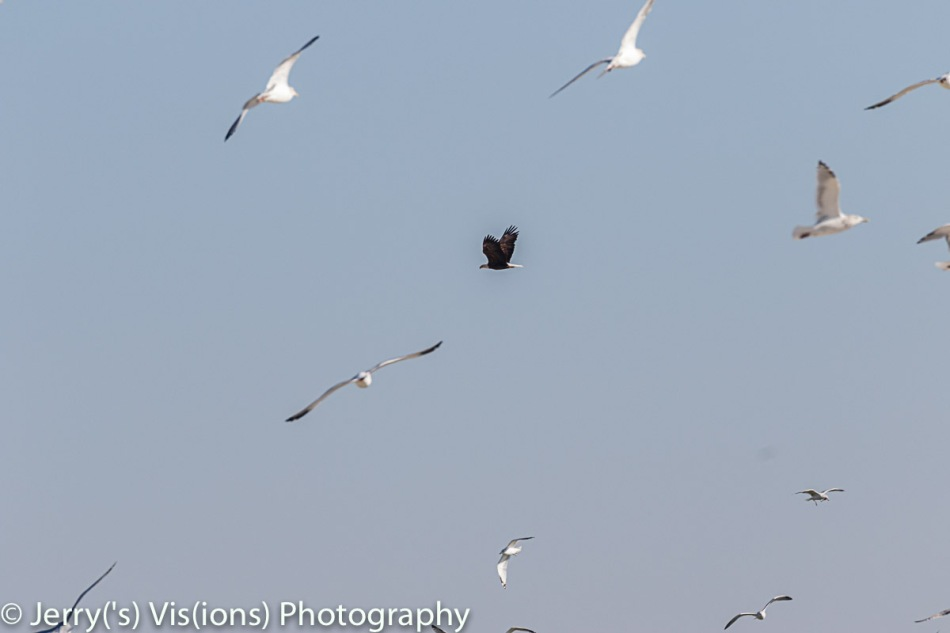 Bald eagle harassing a flock of gulls