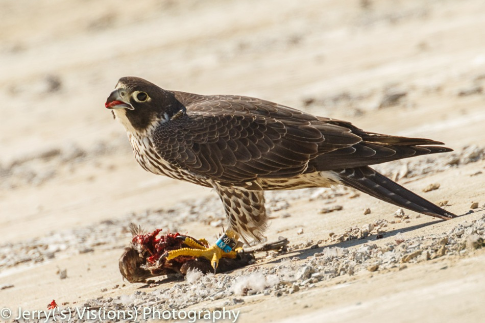 Peregrine falcon enjoying leftovers