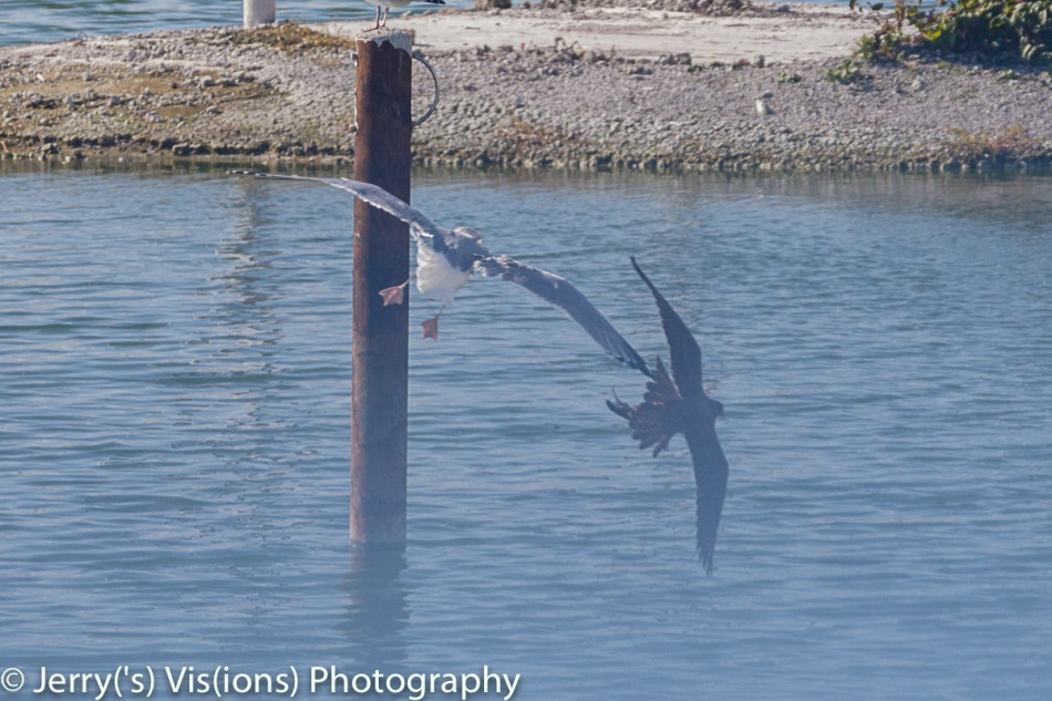 Herring gull attacking a peregrine falcon
