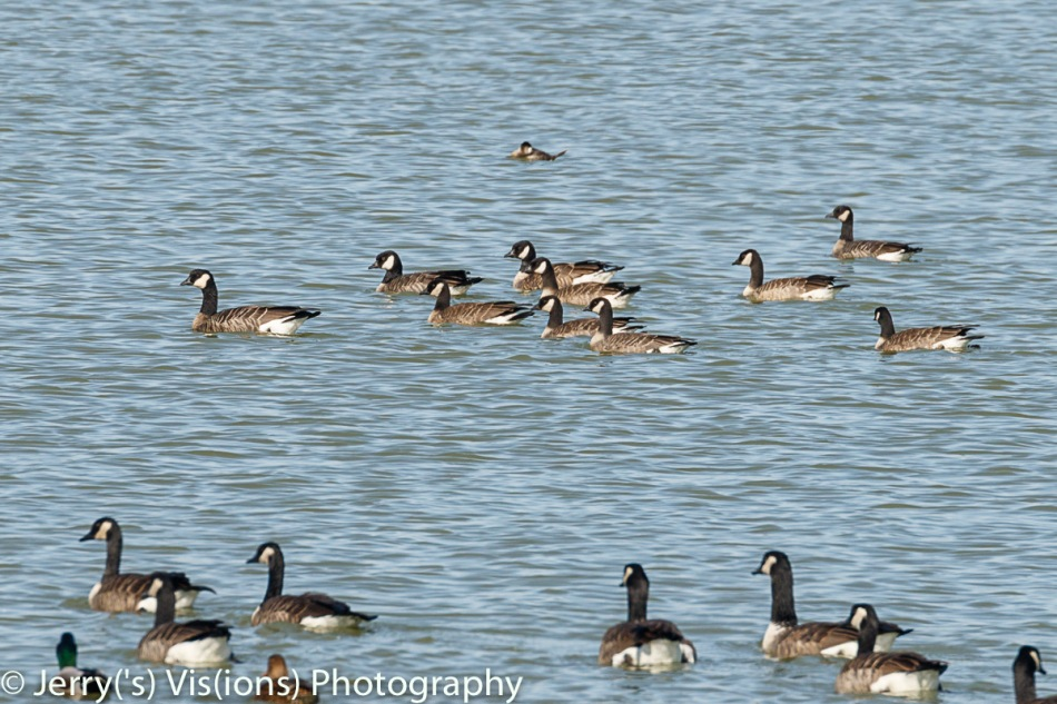 Cackling geese and Canada geese