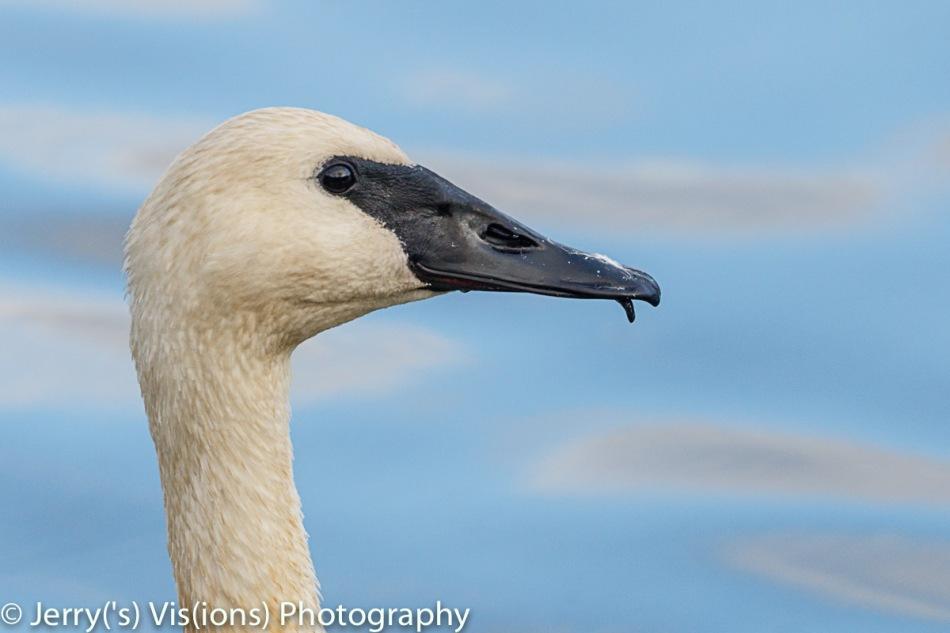 Trumpeter swan portrait 1