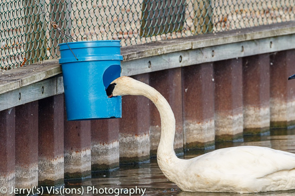 Trumpeter swan waiting for breakfast