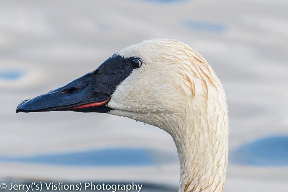 Trumpeter swan portrait 2