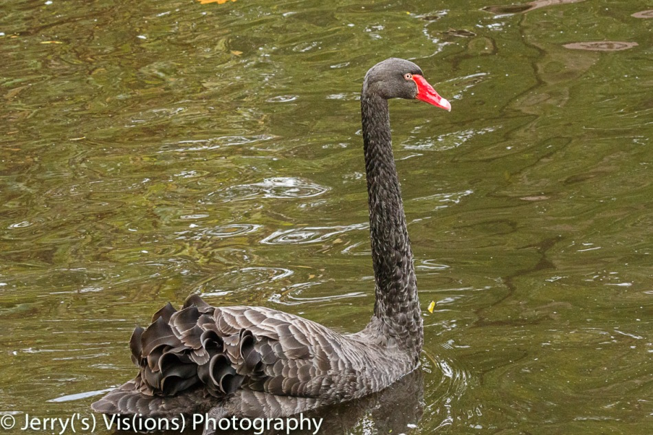 Black swan from Australia