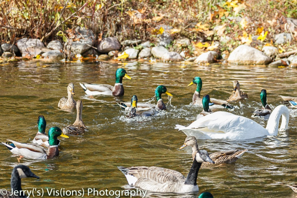 Waterfowl feeding frenzy