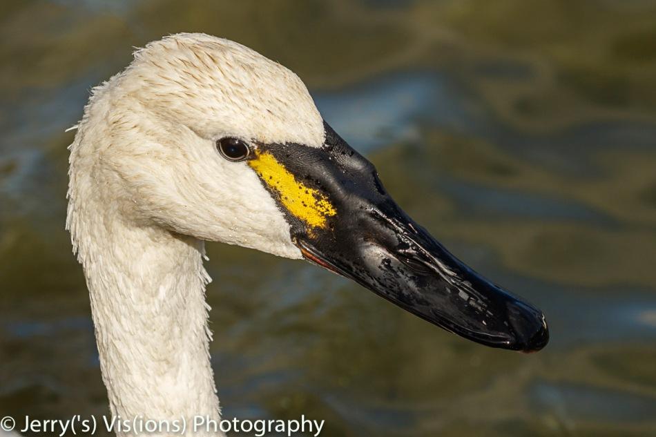 Whooper X Trumpeter swan hybrid