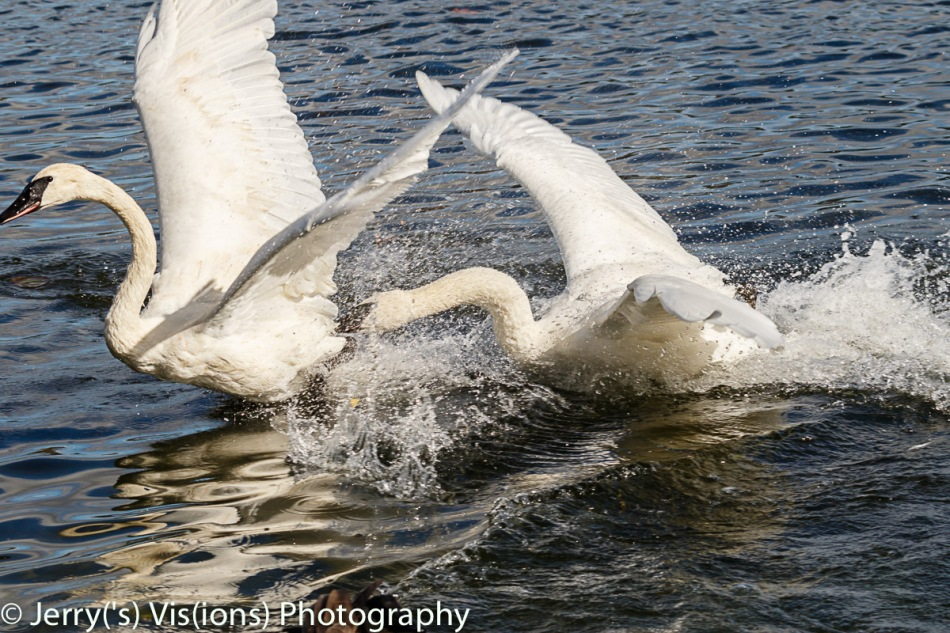 Trumpeter swans fighting