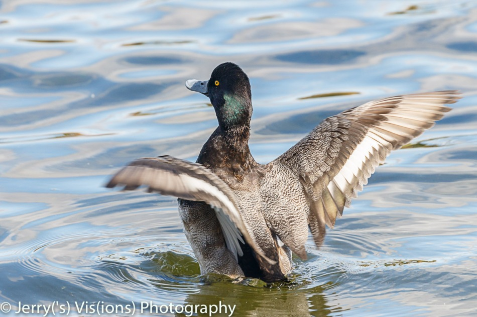 Male greater scaup drying its wings