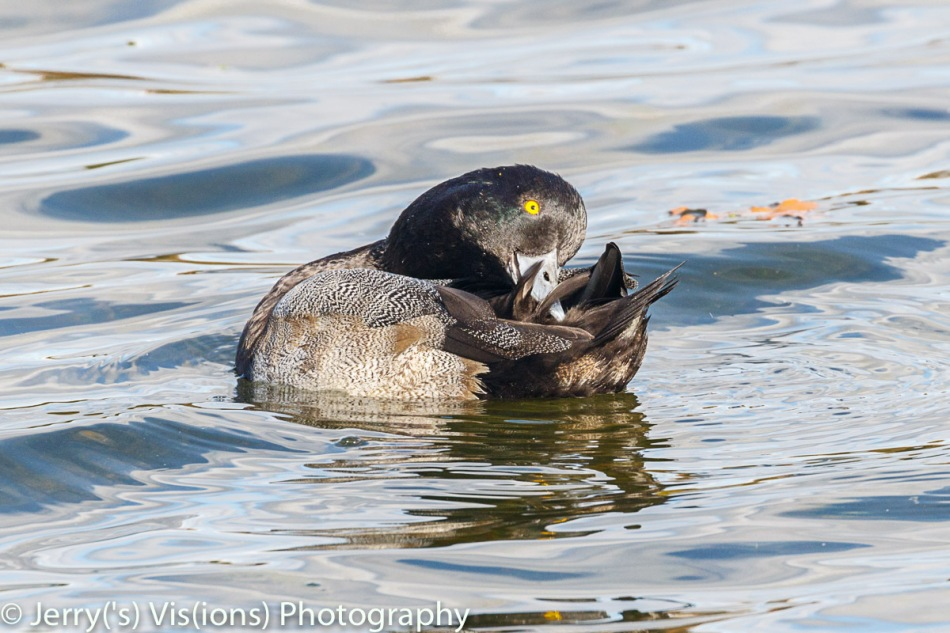 Male greater scaup preening