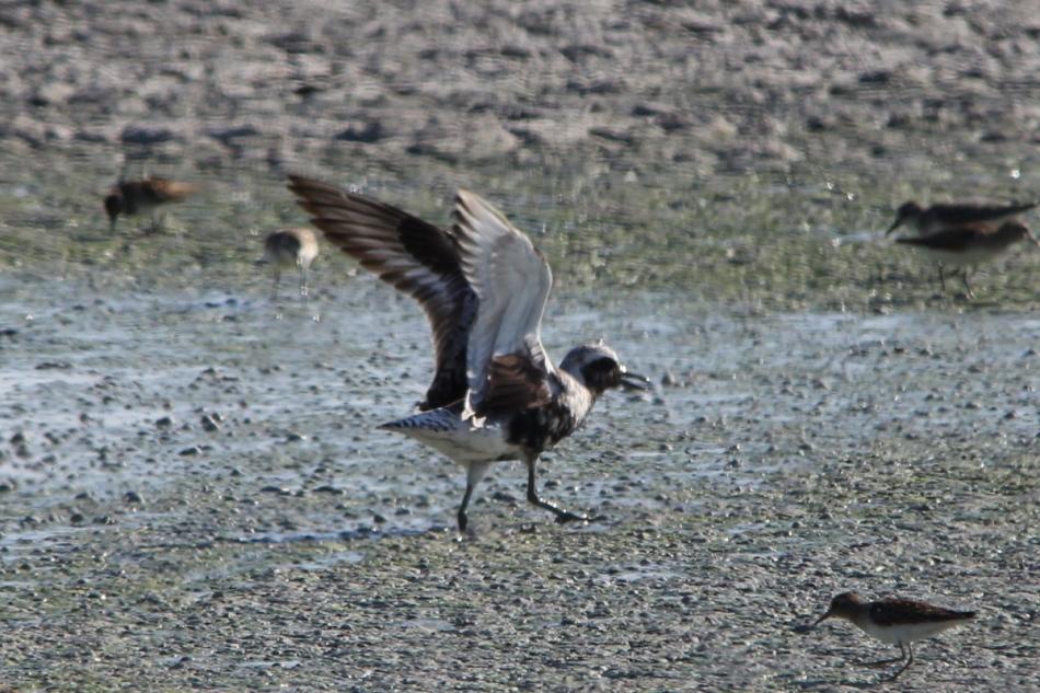 Black-bellied Plover, Pluvialis squatarola