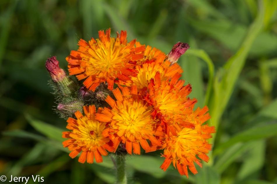 Orange hawkweed?