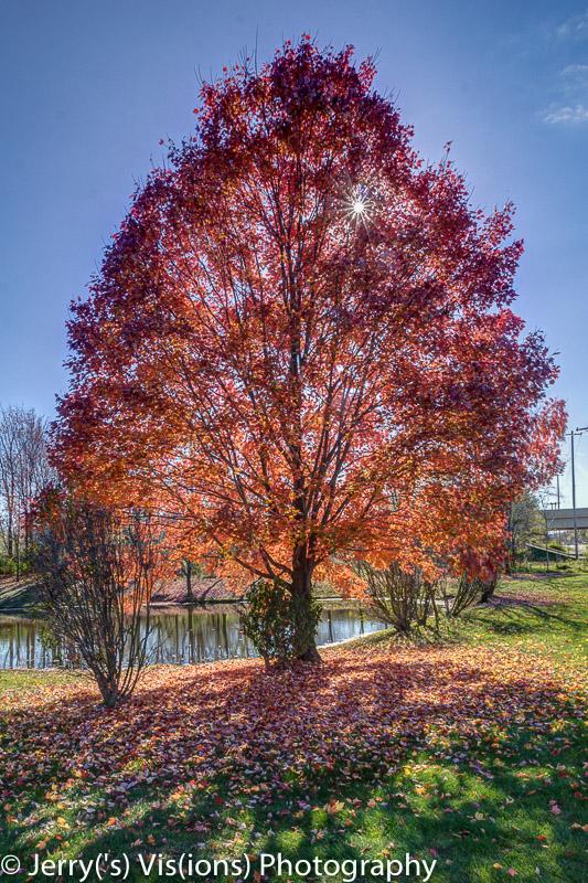 Maple tree glowing in the sun