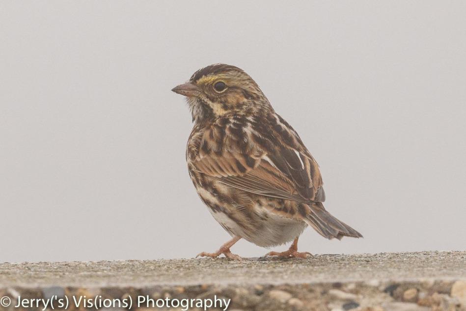 Savannah Sparrow in the fog