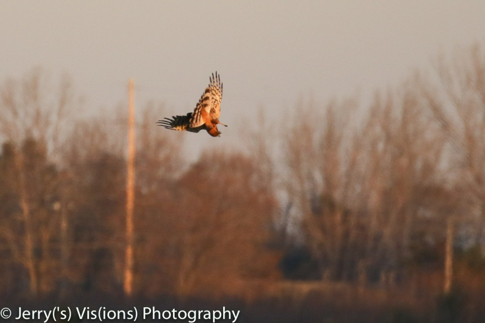 Northern harrier in flight