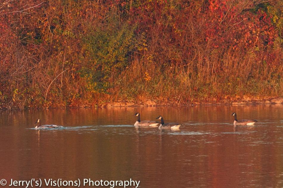 Canada geese at dawn
