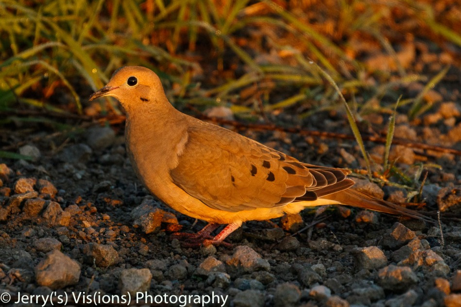 Mourning dove at dawn