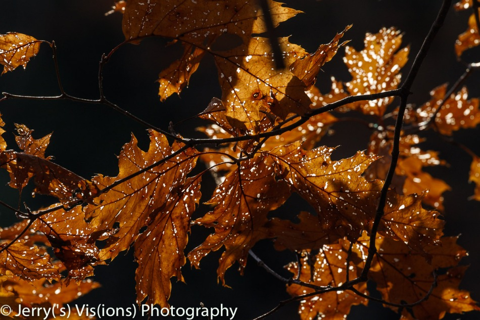 Oak leaves abstract