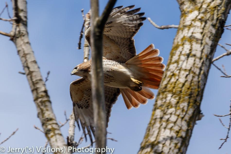 Juvenile red-tailed hawk taking flight