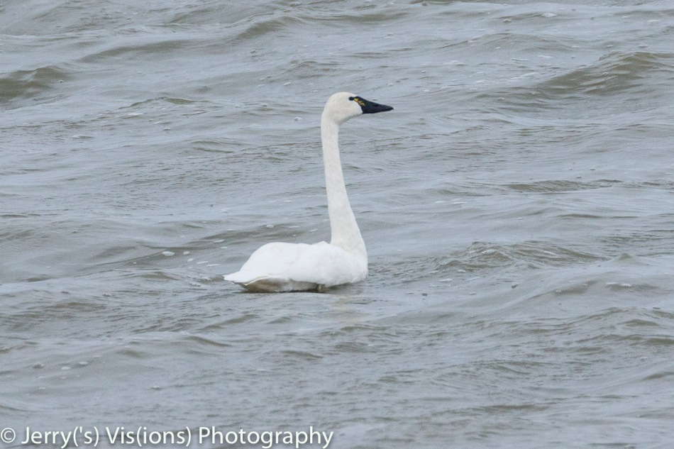Tundra or trumpeter swan