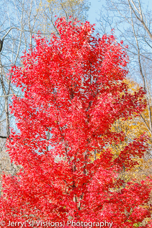 A vividly red maple