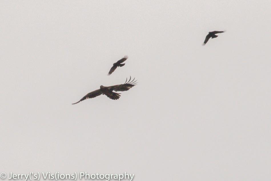 American crows attacking a juvenile bald eagle