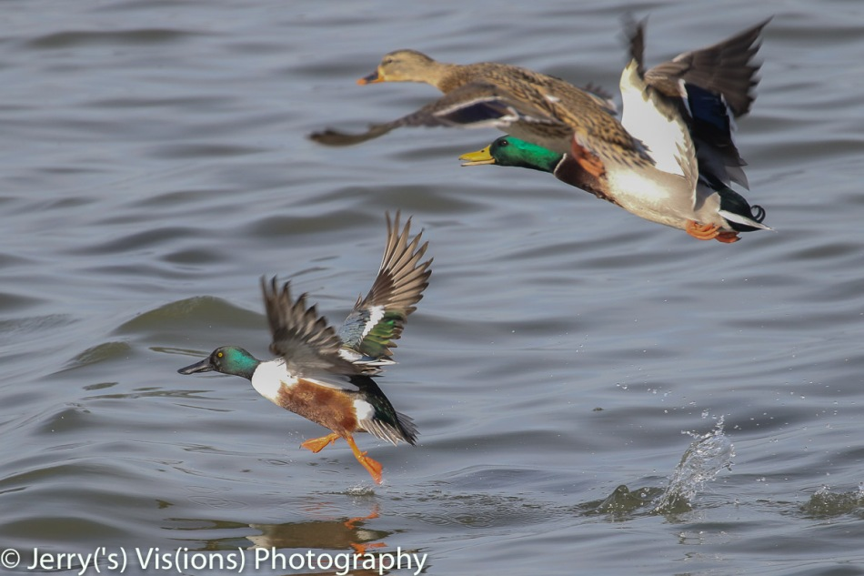 Male northern shoveler being photo-bombed by mallards
