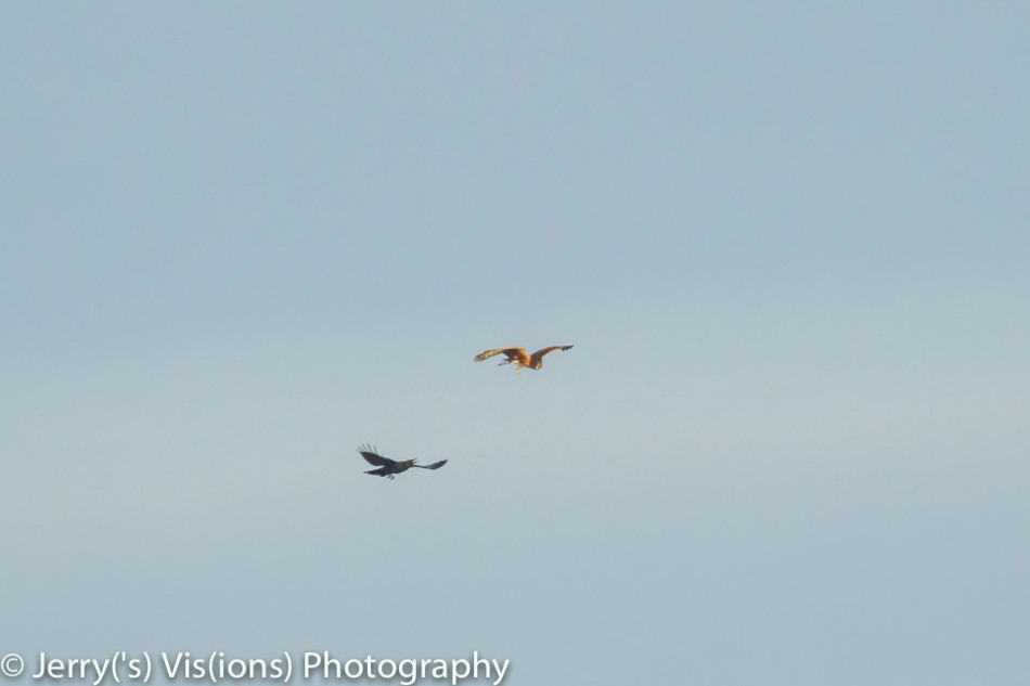 Northern harrier and American crow