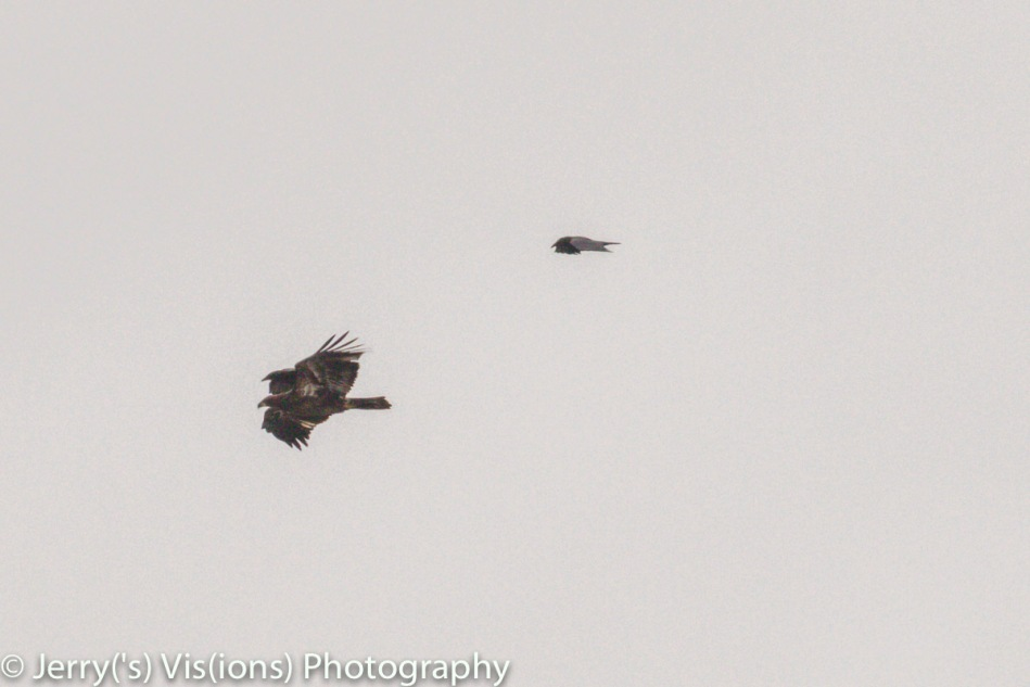American crows attacking a juvenile bald eagle