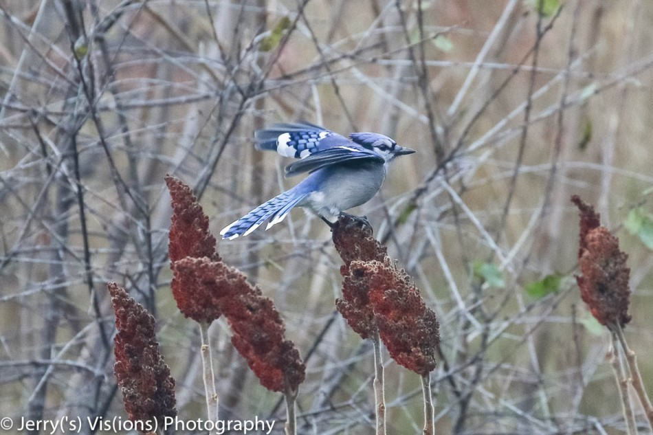 Blue jay on sumac